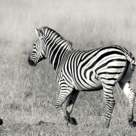 Zebra, Sony ILCE-7RM2, Tamron SP 150-600mm F5-6.3 Di USD