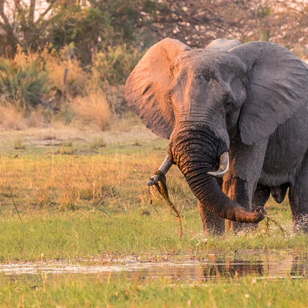 Elephant Pulling Up Grass, Sony ILCE-7RM2, Tamron SP 150-600mm F5-6.3 Di USD