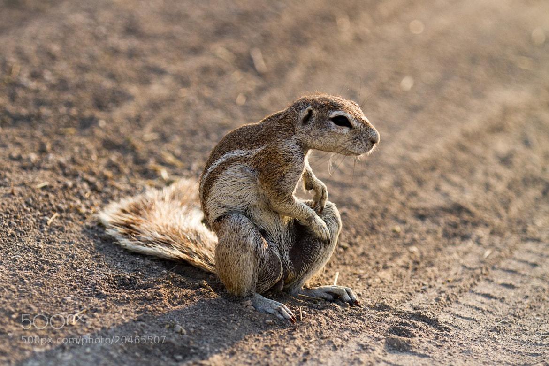 Photograph Cheeky Ground Squirrel by Wojtek Kalka on 500px