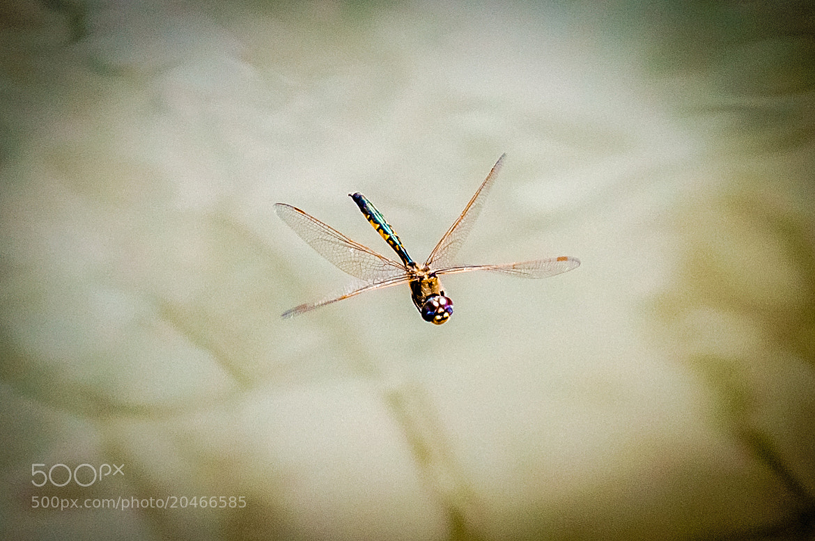 Photograph dragon fly-ight by i500 ... on 500px