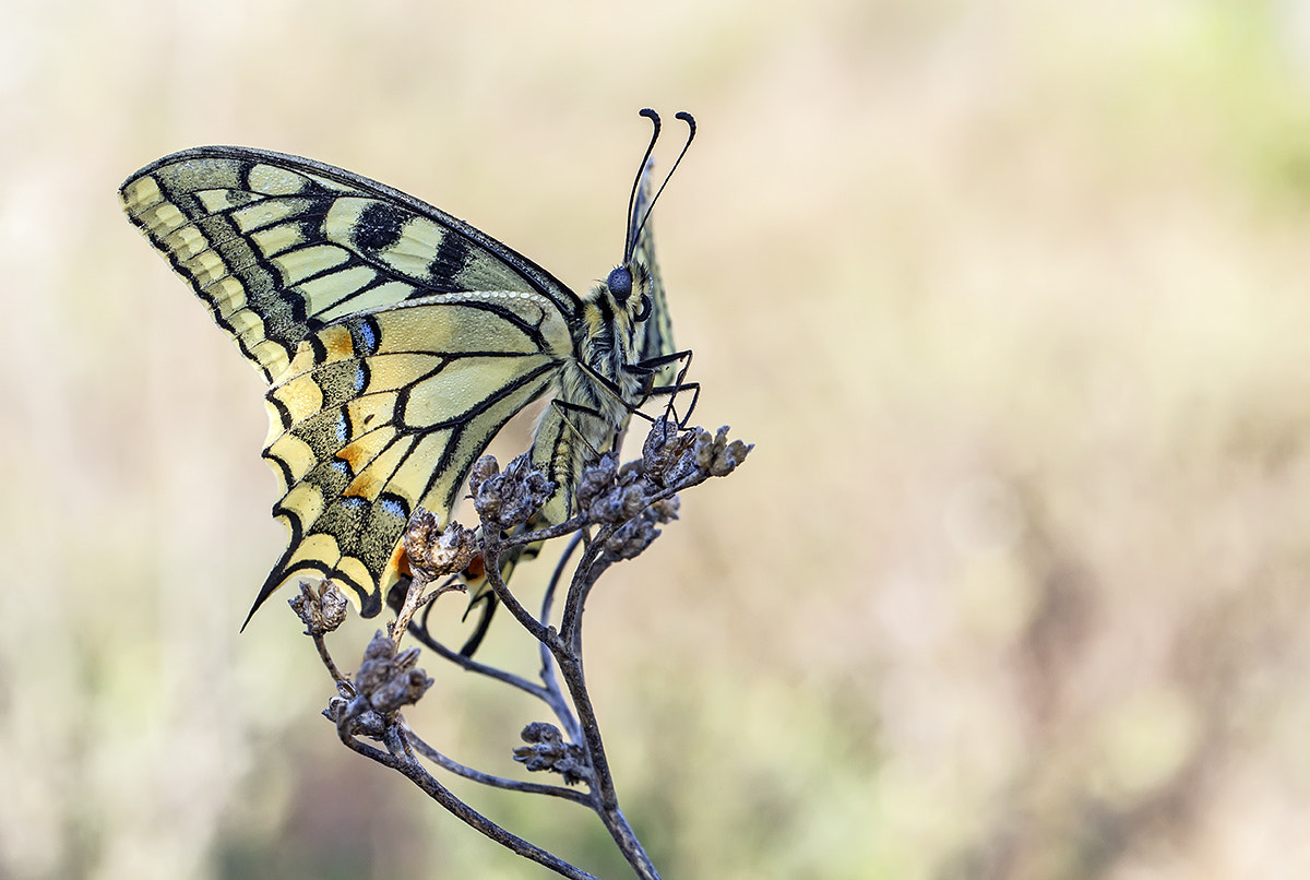 Photograph Papilio machaon by Remus Moise on 500px
