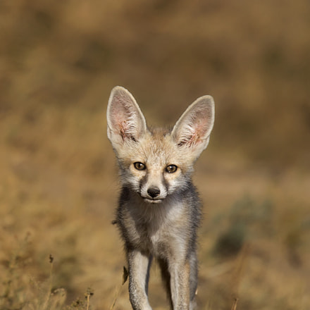 Desert fox, Canon EOS 5D MARK III, 150-600mm F5-6.3 DG OS HSM | Sports 014