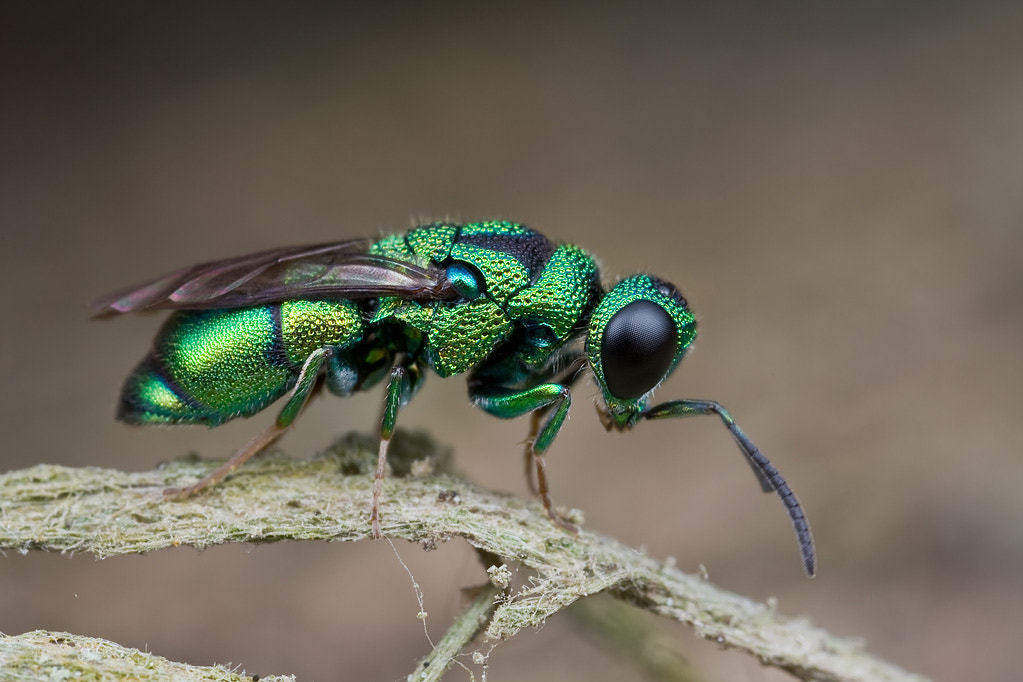 Photograph Jewel wasp by Kurt Orionmystery G on 500px