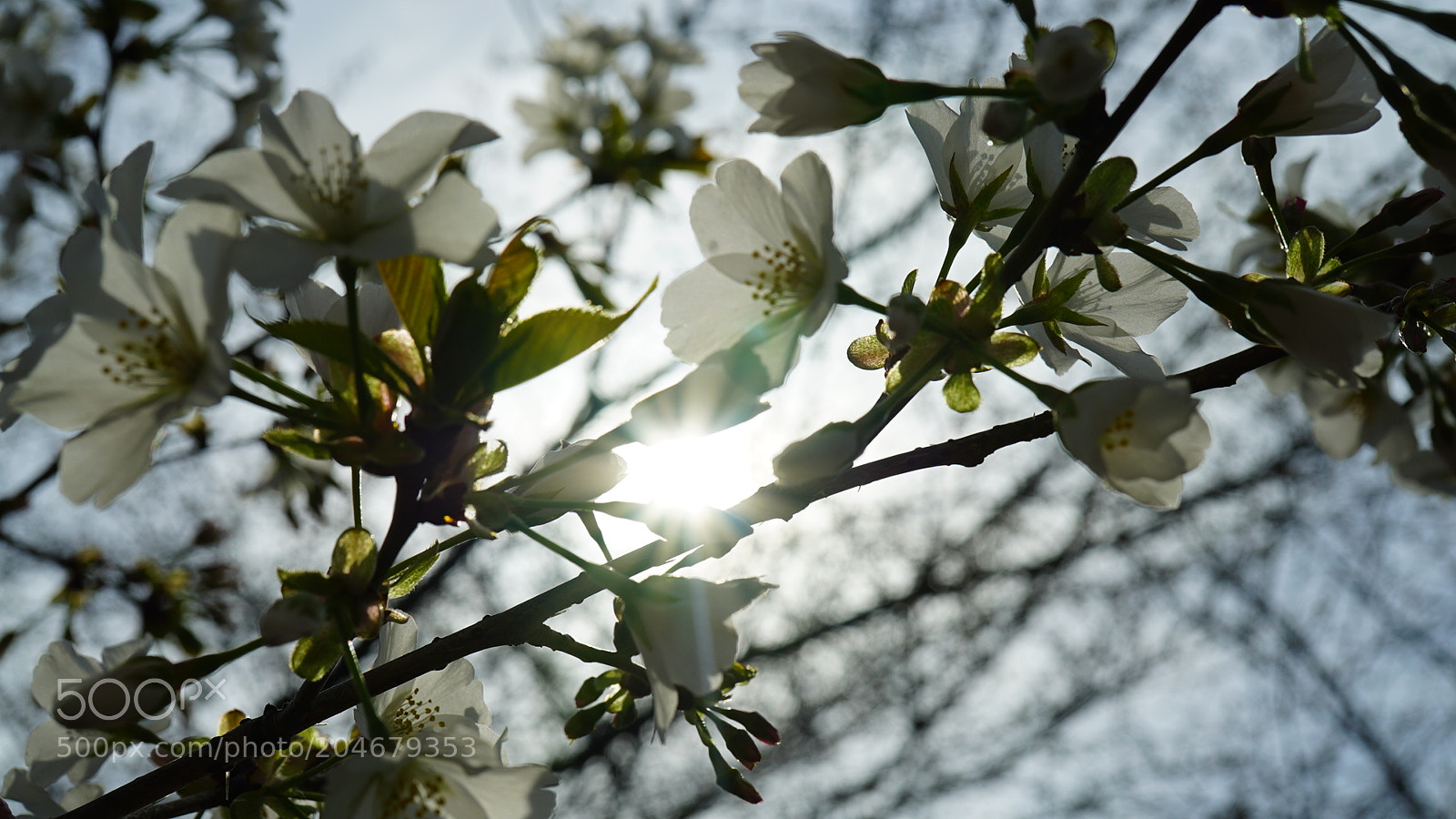 """Sony a7S sample photo. """"White cherry blossoms with"""" photography"""
