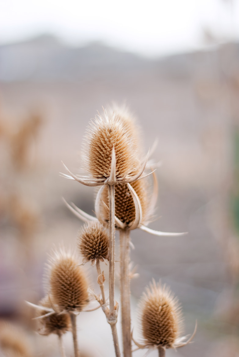 Photograph Thistles II by Katie Kirkland on 500px