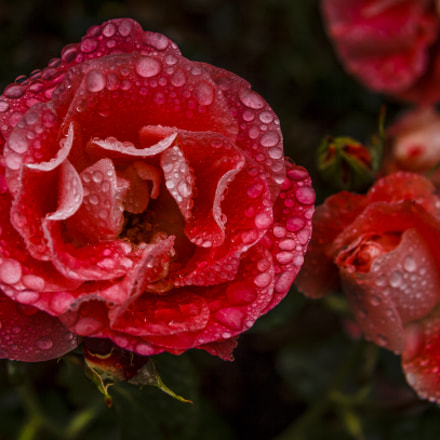 Rose 'Celine Delbard', Canon EOS 60D, Canon EF-S 17-85mm f/4-5.6 IS USM