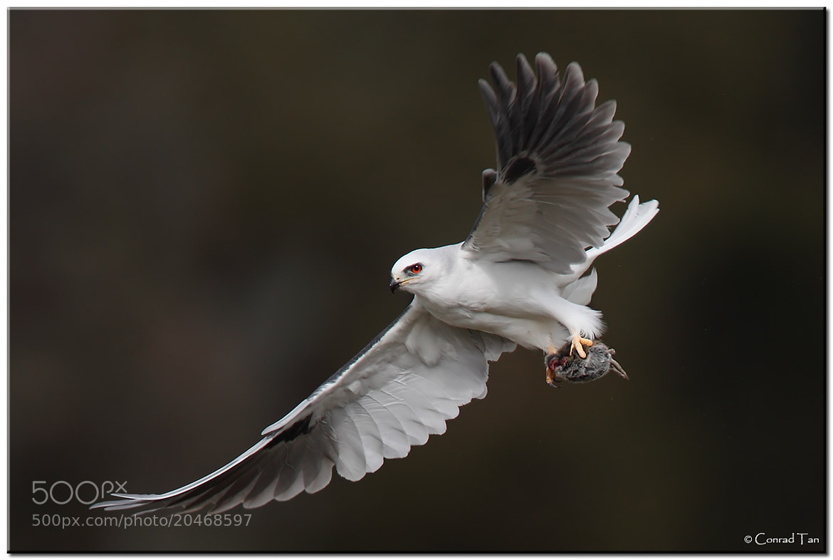 Photograph Whitetail Kite  by Conrad Tan on 500px