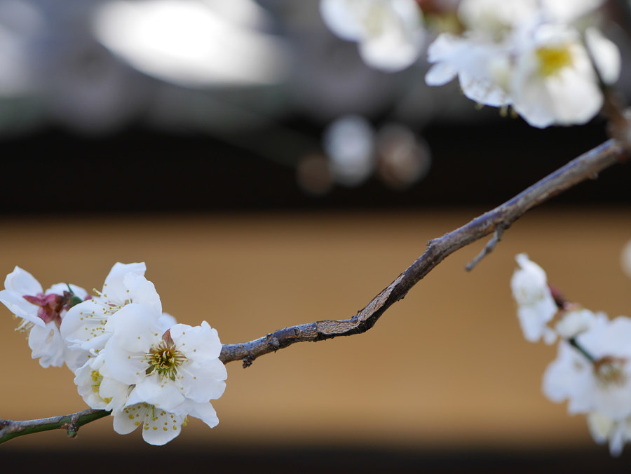 Plum Flowers in Kyoto by Hiro Kashiwabara on 500px.com