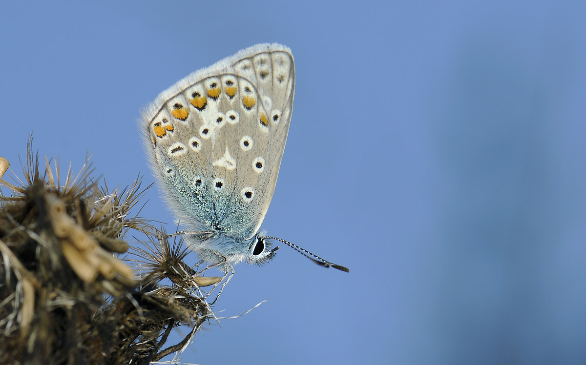 Photograph Common Blue by Janis von Heyking on 500px