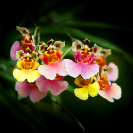 Colourful  orchids is beautiful., Nikon D700, AF-S VR Micro-Nikkor 105mm f/2.8G IF-ED