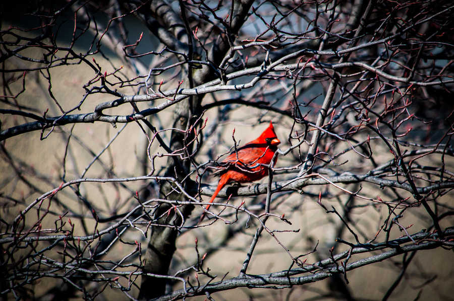 Love capturing cardinals this time of year. They can't hide.