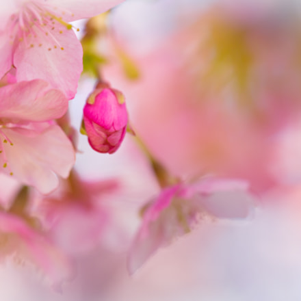 It is cherry blossoms, Canon EOS 5D MARK III, Canon EF 100mm f/2.8L Macro IS USM