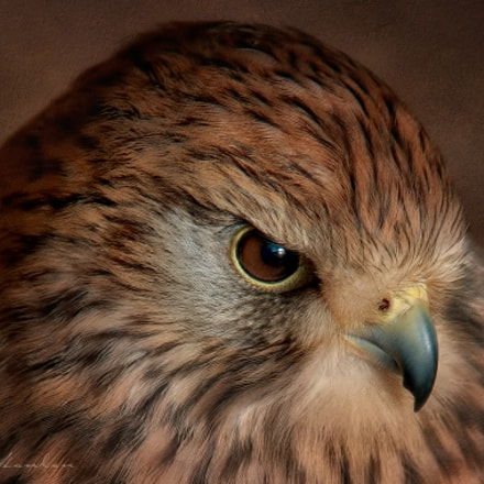 Kestrel, Nikon D300, Sigma APO 100-300mm F4 EX IF HSM