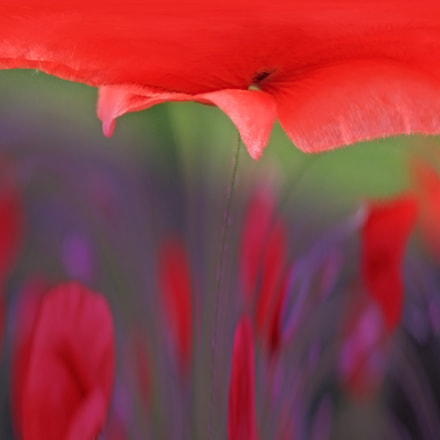 Poppies dancing in the, Canon EOS 500D, Canon EF 100mm f/2.8L Macro IS USM