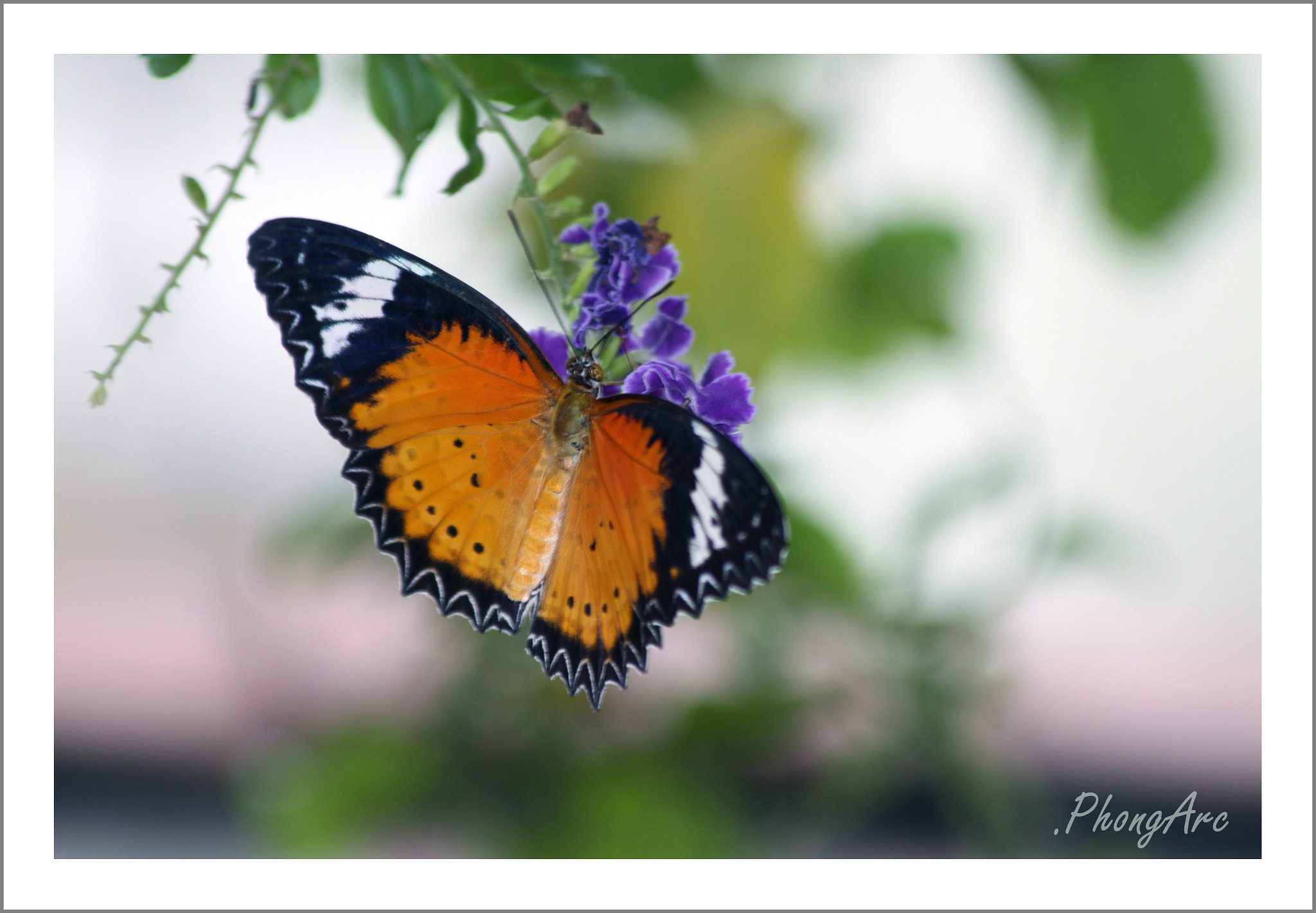 Photograph Tiger _ Butterfly  by Phong Arc on 500px
