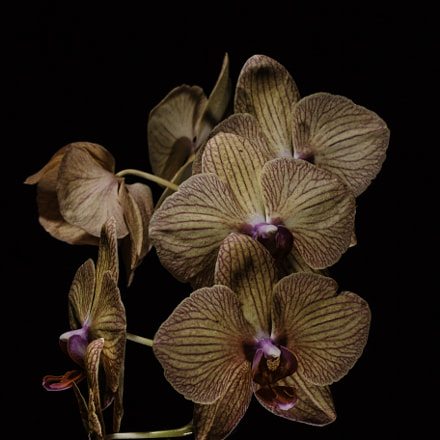 Phalaenopsis 2.0, Canon EOS 70D, Canon EF-S 55-250mm f/4-5.6 IS STM