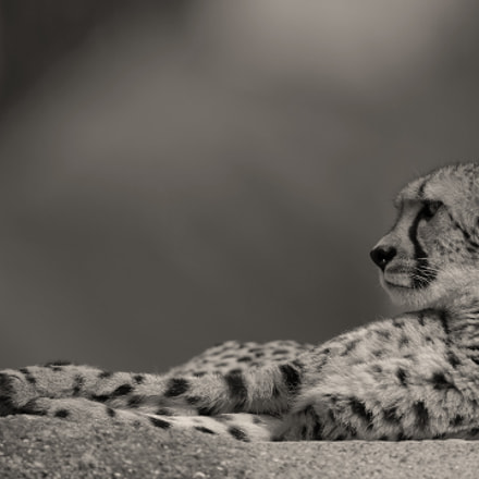 Portrait of a Cheetah, Canon EOS-1D X, Canon EF 600mm f/4.0L IS II USM
