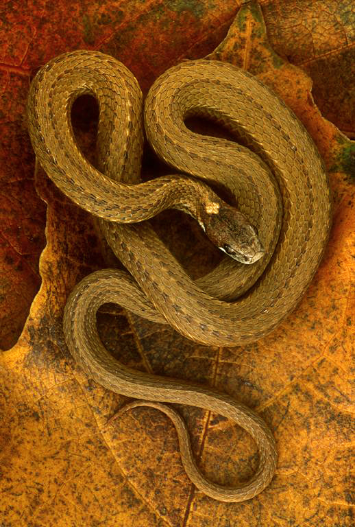 Photograph Red Bellied Snake by Norm Riekenbrauck on 500px