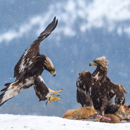 Golde eagles, Nikon D4S, AF-S VR Nikkor 200mm f/2G IF-ED