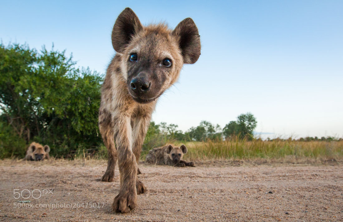 Photograph Curious Hyena by Marlon du Toit on 500px