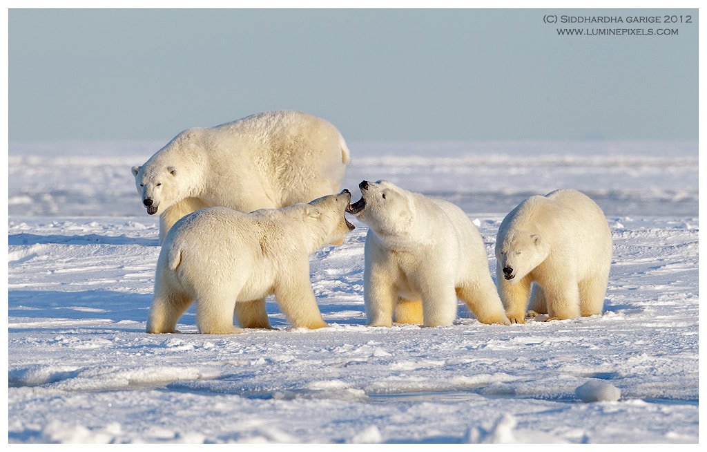 Photograph Ice Bears of Arctic - 10 by Siddhardha Garige on 500px