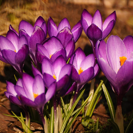 Crocus, Sony SLT-A58, Sony DT 55-300mm F4.5-5.6 SAM (SAL55300)