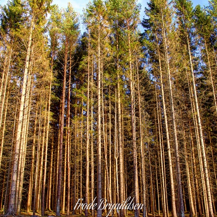 Tall trees in the, Canon EOS 7D MARK II, Sigma 17-70mm f/2.8-4 DC Macro OS HSM