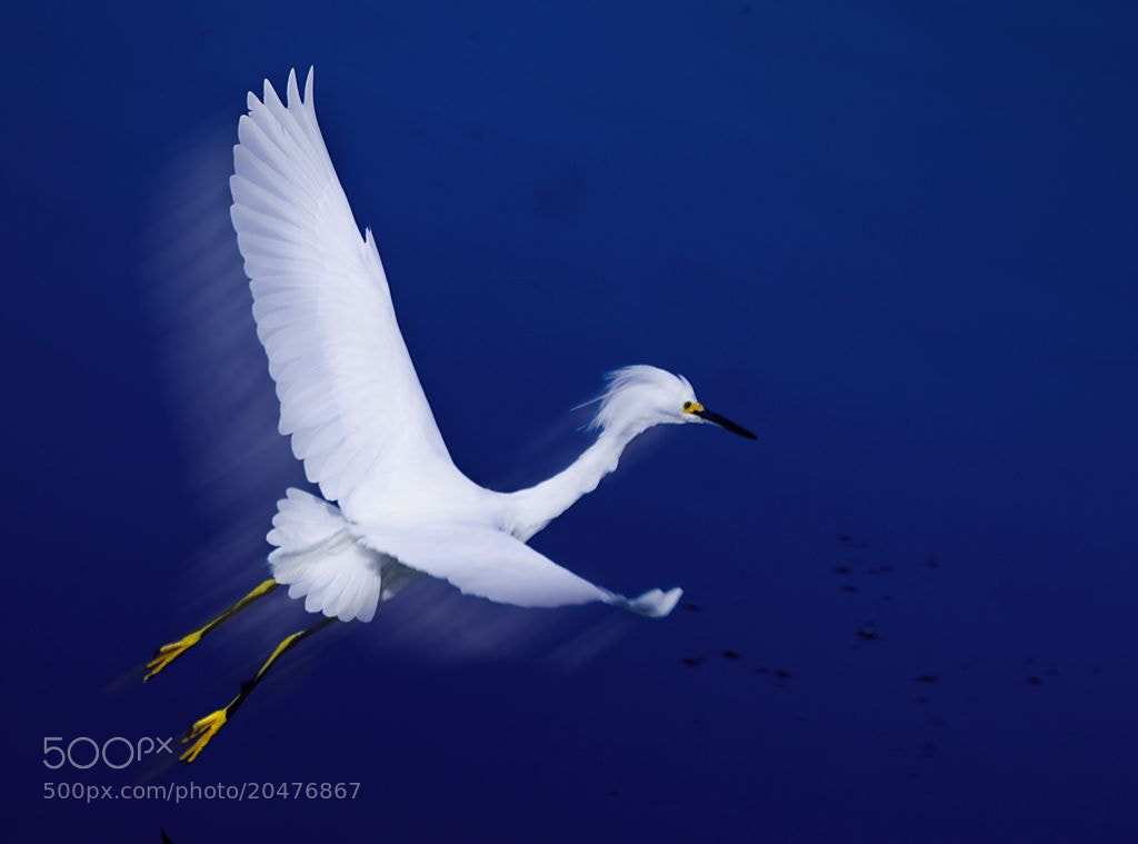 Photograph Egret and Blue by Norm Riekenbrauck on 500px