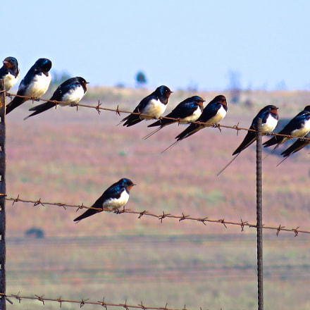 Swallows readying to depart., Canon POWERSHOT SX270 HS