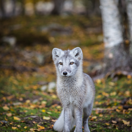Young fox, Canon EOS 5D MARK III, Canon EF 70-200mm f/4L IS