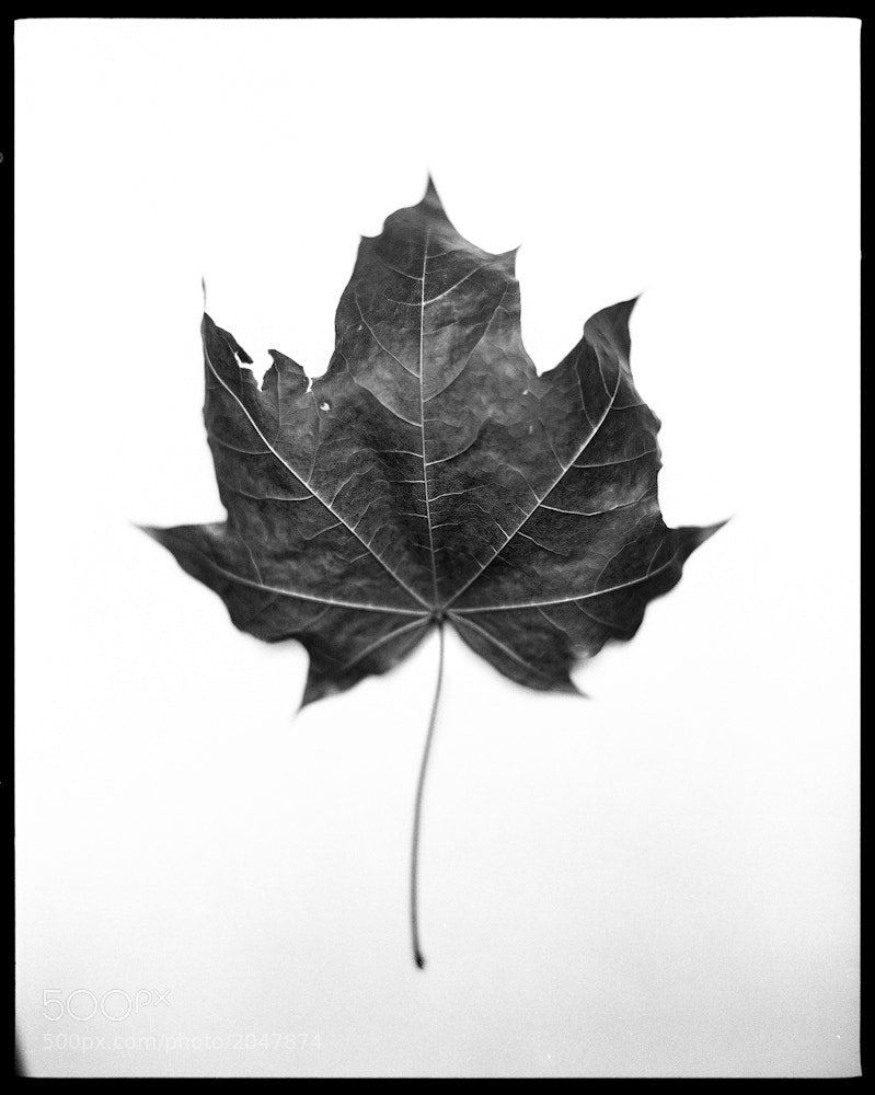 Photograph Maple Leaf by Chris Prefontaine on 500px