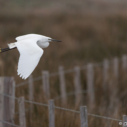 aigrette garzette - Little, Canon EOS 5D MARK III, 150-600mm F5-6.3 DG OS HSM | Sports 014