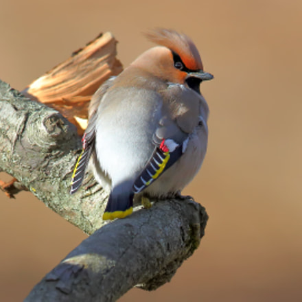 Just a waxwing, Canon EOS 5D MARK III, Canon EF 400mm f/2.8L IS II USM + 2x