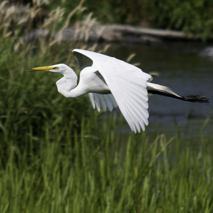 Flying Great Egret, Nikon D300, AF Zoom-Nikkor 75-300mm f/4.5-5.6