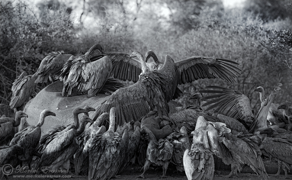 Photograph Vulture Buffet by Morkel Erasmus on 500px