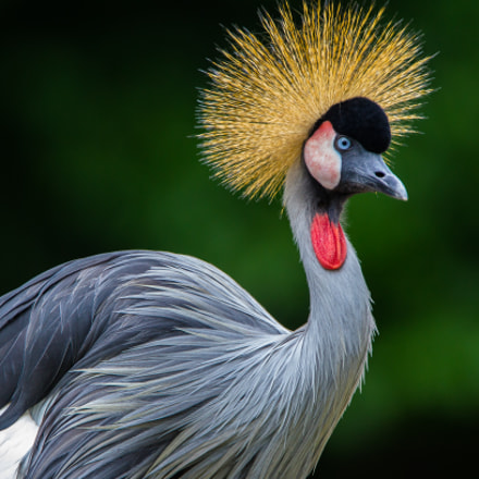 Grey Crowned Crane, Canon EOS-1D MARK IV, Canon EF 300mm f/2.8L IS + 1.4x