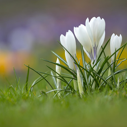 white crocus, Canon EOS 5D MARK III, Canon EF 200-400mm f/4L IS USM
