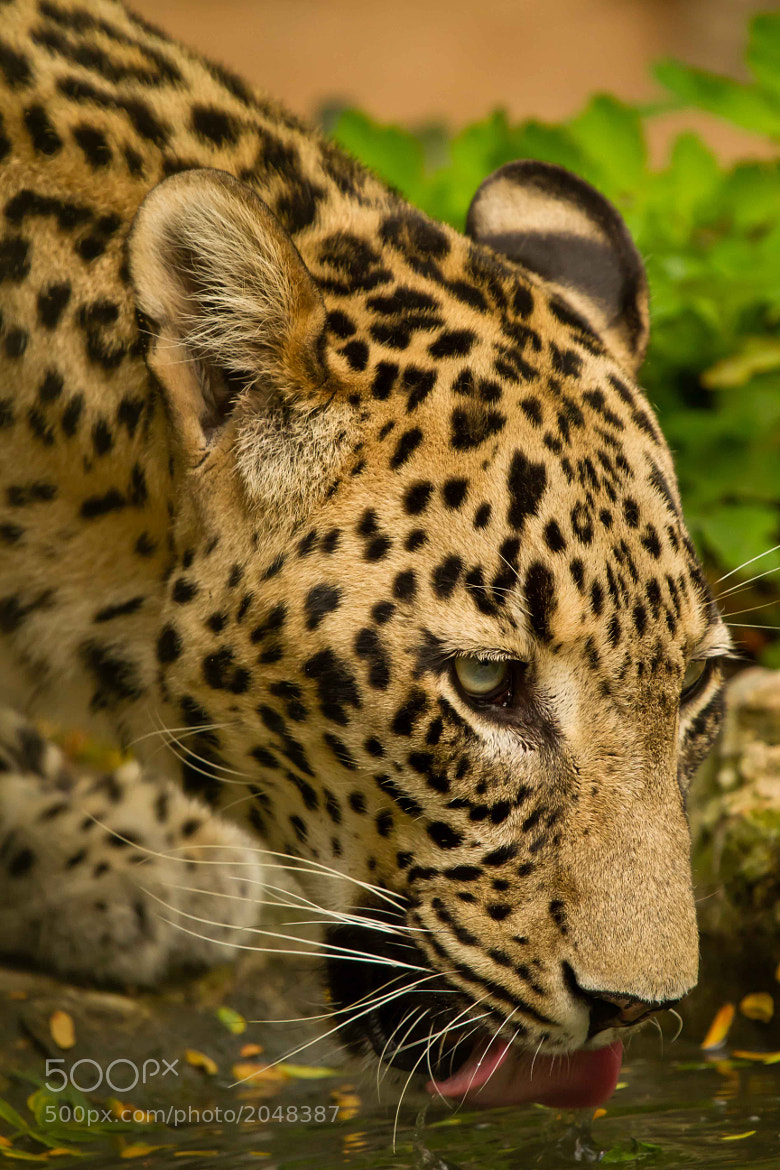 Photograph Thirsty Leopard by Markus _ on 500px