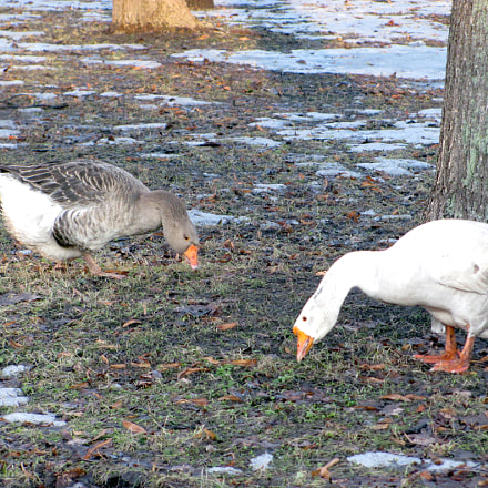 Geese, Canon POWERSHOT SX120 IS