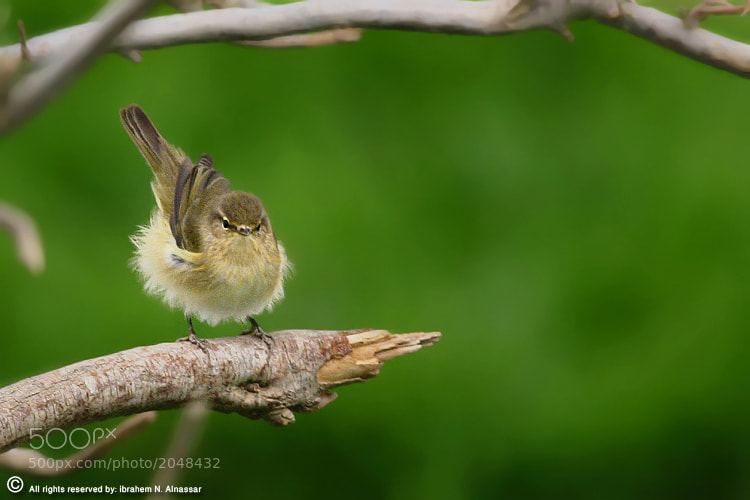 Photograph Chiffchaff by Ibrahem ALnassar on 500px