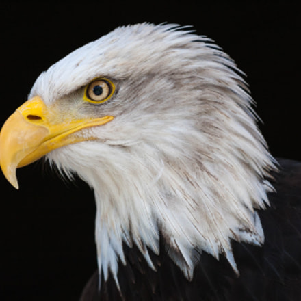 Eagle, Canon EOS 40D, Canon EF 70-200mm f/4L IS