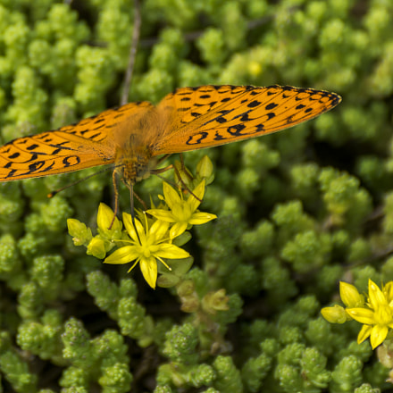 The butterfly drinks the nectar from the flowers