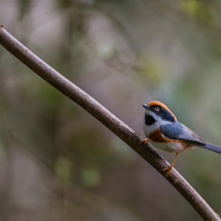 Black Throated Tit, Canon EOS-1D X, Canon EF 600mm f/4.0L IS II USM + 1.4x