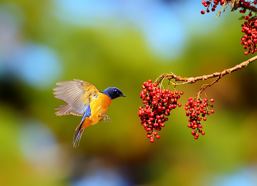 Photograph ..Rufous-bellied Blue Flycatcher.. by Dajan Chiou on 500px