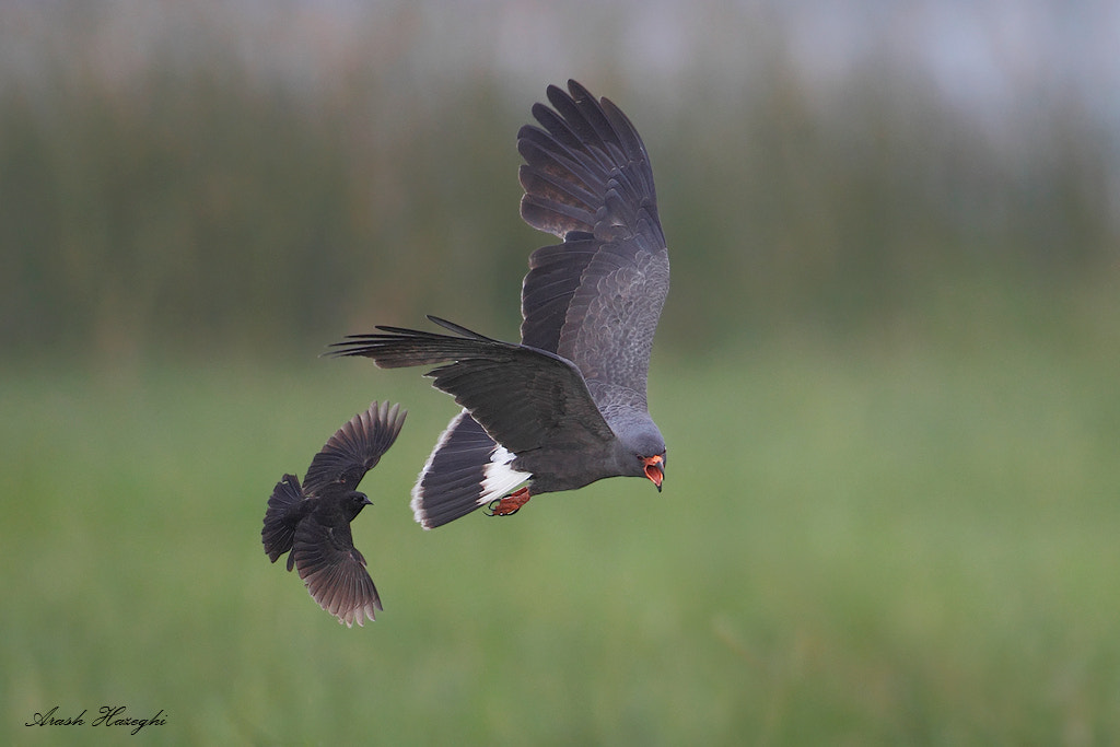 Photograph Snail kite chase by Ari Hazeghi on 500px