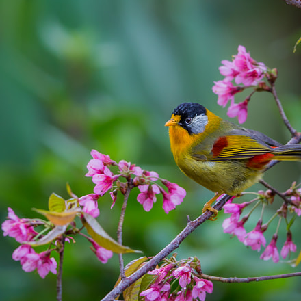 Silver Eared Mesia, Canon EOS-1D X, Canon EF 600mm f/4.0L IS II USM