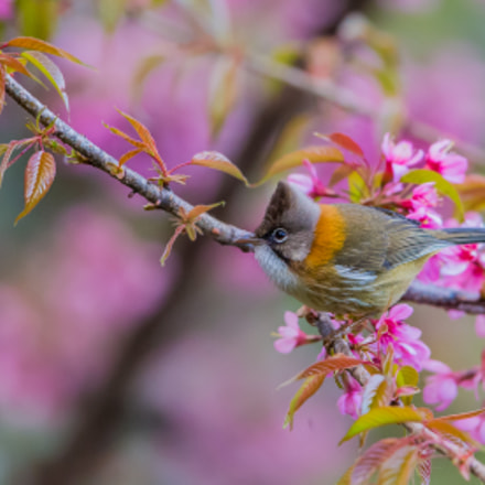 Whiskered Yuhina, Canon EOS-1D X, Canon EF 600mm f/4.0L IS II USM + 1.4x