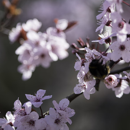 Bee and blossom, RICOH PENTAX K-3 II, smc PENTAX-DA* 60-250mm F4 [IF] SDM