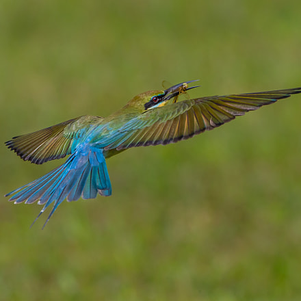 Blue Tailed Bee Eater, Canon EOS-1D X, Canon EF 600mm f/4.0L IS II USM + 1.4x
