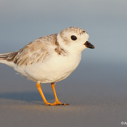 Piping Plover, Canon EOS-1D MARK III, Canon EF 500mm f/4L IS + 1.4x